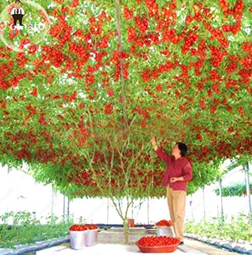 200pcs Escalade Graines de tomate cerise tomate bio Graines Légumes tomates arbustives Plantes non ogm alimentaire Bonsai Pot jardin