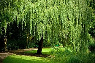 1 Weeping Willow Tree - Live Tree Plant Cutting - Memorial Gift - Beautiful Arching Canopy Add Peace and Serenity - Grieving Gift- Pet Memorial
