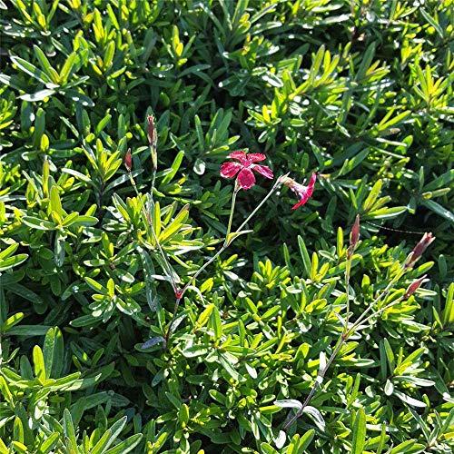 Dianthus deltoides 'Brillant' - Garten-Heide-Nelke 'Brilliant' - 9cm Topf