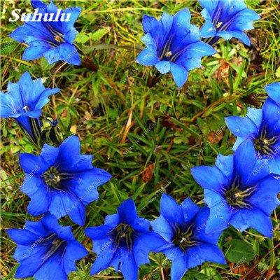 100 Pcs Largeleaf bleu gentiane Graines rares Gentianopsis Graines de fleurs vivaces Bonsai plantes pour jardin Décor Livraison gratuite 2