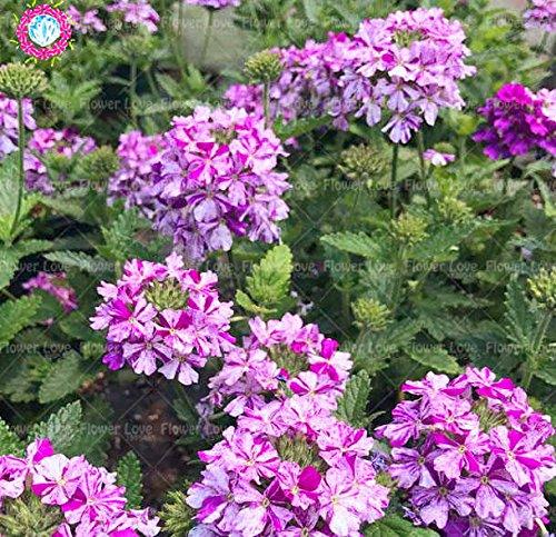 Graines de Purple rares 50pcs Verveine, Verveine HORTENSIS, Verveine Hybrida Rare Bonsai Graines de fleurs Plantes d'intérieur Balcon pour jardin 3