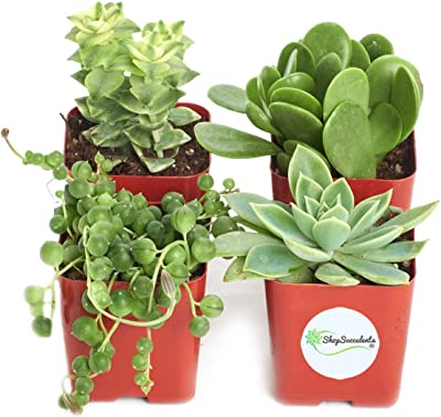 Shop Succulents | Verde Collection | Assortment of Hand Selected, Fully Rooted Live Indoor Green Succulent Plants, 4-Pack