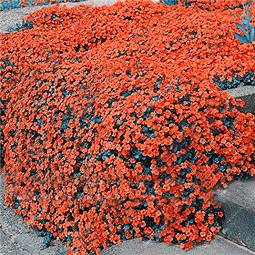 Tomasa Samenhaus- 100 Immergrüne Polsterthymian Blütenteppich winterhart Blmensamen mehrjährig Duftend-Thymian Bodendecker Steinkraut bienenfreundliche Blumen Saatgut Sommer-Beet Steingärten
