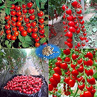 Prime Time! 200 - Greek tomato seeds heirloom sweet gardening seeds plants non gmo vegetable seeds for home garden planting sent gift seeds family worship
