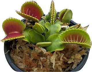 venus fly trap terrarium for sale