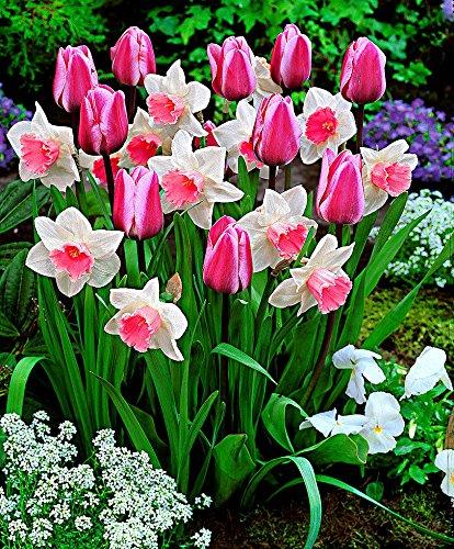 Tulpe + Narzisse 'Perfect Harmony'-1 Pack. (15 + 10 St.)-Blumenzwiebeln