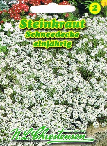 Herbe « couverture neige » blanche, très parfumée, plantes d'ameublement pour jardins de rocaille, bordures et plantations en groupe, saule « Lobularia maritime ».