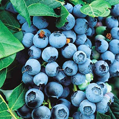 secretgiardino.com Frutti di bosco PIANTA DI MIRTILLO-VACCINIUM MYRTILLUS - antiossidante*pianta vera* Ø 15 cm - h 100 cm