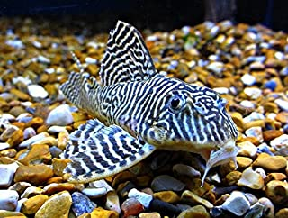 WorldwideTropicals Live Freshwater Aquarium Fish - 4-5 King Tiger Pleco - 4-5 King Tiger Pleco Fish - by Live Tropical Fish - Great For Aquariums - Populate Your Fish Tank!