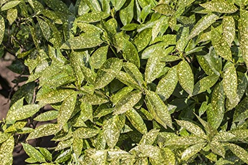 Japanische Aucube Aucuba japonica 'Variegata' im Topf gewachsen ca. 40-60cm
