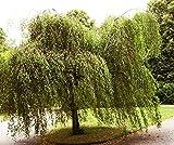 100.000 Samen Sandbirke, Hängebirke, Betula pendula, ideal als Bonsai, Baum d....