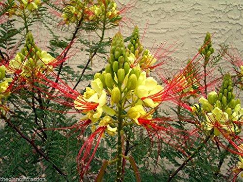 Caesalpinia gilliesii Nain Arbuste Arbre, Oiseau Jaune du Paradis 10/100/500 Seeds