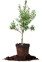 Arbequina Olive Tree - Live Plant, Includes Special Blend Plants Food & Planting Guide (2-3FT)