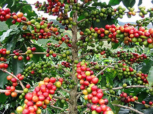 100 Samen -Arabica Kaffee- -Coffea arabica- Top Qualität