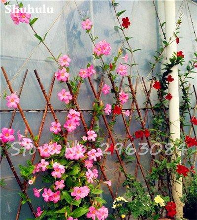 50 Pcs/sac Rare Dipladenia Sanderi Graines vivaces Escalade Bonsai Mandevilla Sanderi fleurs ornementales d'extérieur Jardin Plante 12