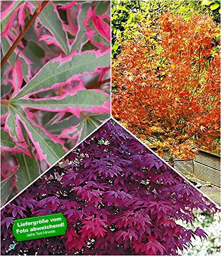 BALDUR Garten Japanische Ahorn Kollektion winterhart, 2 Pflanzen iAcer palmatum Ahornbaum winterhart