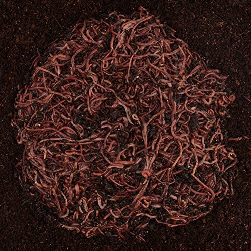 Worm Factory 1 lb. Red Wiggler Worms