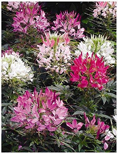 Lot 50 graines de Cléome épineux Colour Fountain mélange - plante annuelle
