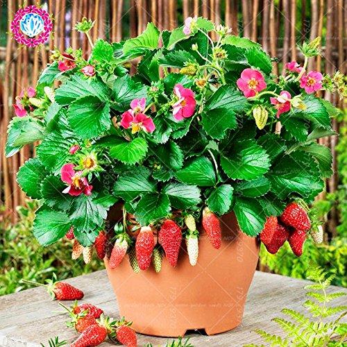 300pcs/lait graines de fraises graines rares fruits bio intérieur dans les graines Bonsai.100% de véritables fraises pour plantes en pot de jardin à domicile