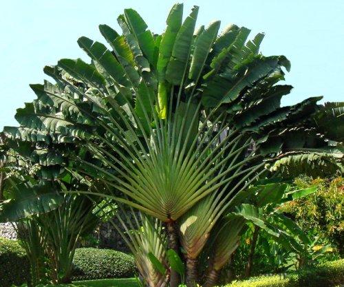 Seedeo Baum des Reisenden Ravenala madagascariensis 8 Samen