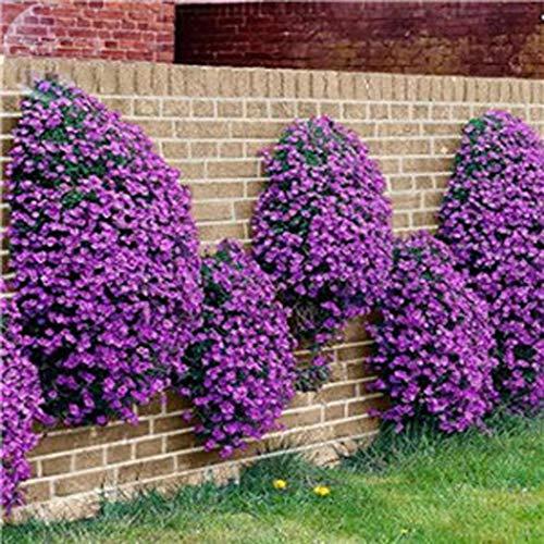 Cioler 100 stücke Bodendecker Samen Creeping Thymian Blumensamen Bonsai Pflanzung Home Office Garten Dekoration Blumensamen