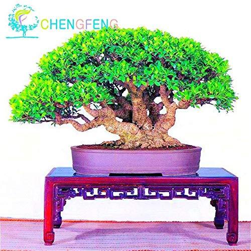 Shopmeeko 50pcs / sac Banyan plantes Bonsaï Arbre Ficus Ginseng plantes Bricolage Home Jardin Plantes Vert Arbre Semillas Intérieur Plante Vivace Pot: Bourgogne