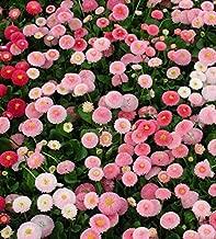 50 Seeds Dwarf English Daisy Seed, Farm Mix, Heirloom Flower Seed, Non-GMO Perennial 50ct