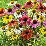 10x piante perenni fiorite | 8 Echinacee & 2 Rudbeckie | Fiori rosa, bianchi e gialli | Piante a radice nuda