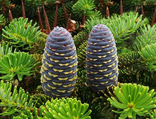 Koreatanne Abies koreana Pflanze 35-40cm Korea-Tanne Tanne Rarität
