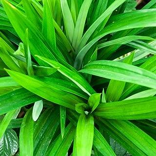 Best pandan grass plant Reviews