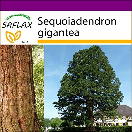 SAFLAX - Big Garden - Berg - Mammutbaum - 50 Samen - Mit Gewächshaus, Töpfen, Anzuchtsubstrat und Dünger - Sequoiadendron gigantea