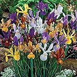 16 x Dutch Iris Mixed- Popular w...