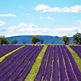 Beautytalk Jardin-Vraies graines de lavande graines de fleurs parfumées vivaces fleurs coupées vivaces graines exotiques graines de fleurs favorables aux abeilles