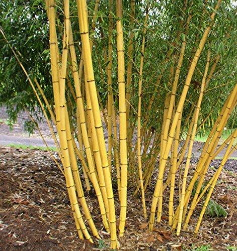 50 pcs \ sac bonsaïs rares graines de bambou jaune pot hybride maison décoration air pur des plantes en pot Livraison gratuite