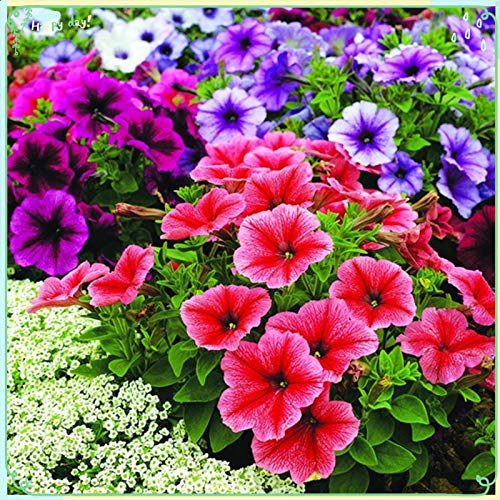 Rare Flower Plant Seeds 2000+ Petunia Seeds - Reflections Mix