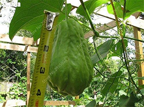 30 pcs / sac Bonsai Chayote Graines d'extérieur non-OGM Succulent citrouille Fruits Légumes Bonsai Plante en pot pour fleurs Pot Planters