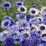 Wildflower Annual Cornfield Plant Garden Seed Grow Your Own Cornflowers & Grasses 1 x 15g Mixed Pack by Thompson & Morgan