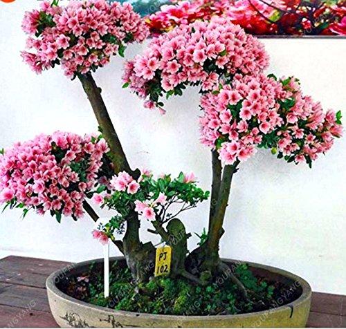 Promotion! 20PCS japonaise Sakura Graines Bonsaï Seed Flower Garden Graines de fleurs de cerisier