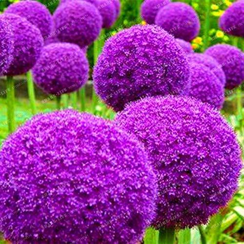 1: Kreative Pflanze 100 Stücke Riesen Zwiebel Samen Allium Giganteum Blumensamen Blume Bonsai Pflanze Diy Hausgarten Pflanze