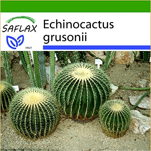 SAFLAX - Coussin de belle-mère - 40 graines - Avec substrat - Echinocactus grusonii