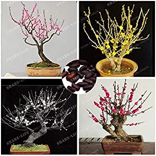 WANCHEN 5 Pcs/Lot Wintersweet Bonsai Chimonanthus Fragrans Praecox Deciduous Shrub Rare Bonsai Tree Bonsai Home Garden DIY Plant (Seeds not Plants)