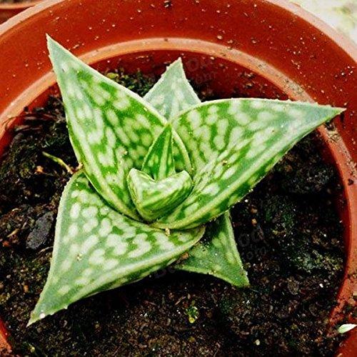 Generic Générique Aloe Variegate Seeds Plantes Succulentes Potting-40 pcs