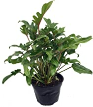 Deja Vu Philodendron - Easy to Grow House Plant - 6