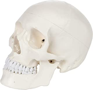 Axis Scientific Human Skull Model, 3-Part Life Size Skull Bones with Articulating Jaw, Removable Skull Cap, Detailed External and Interior Structures, Study Guide and Worry Free Warranty