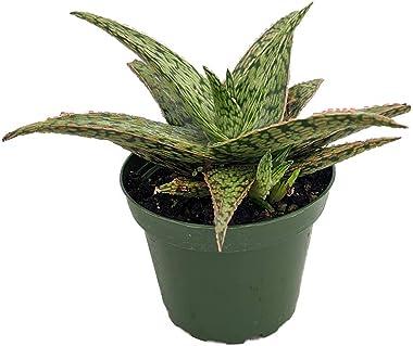 "Pink Fox Aloe Succulent - 4"" Pot - Easy to Grow"
