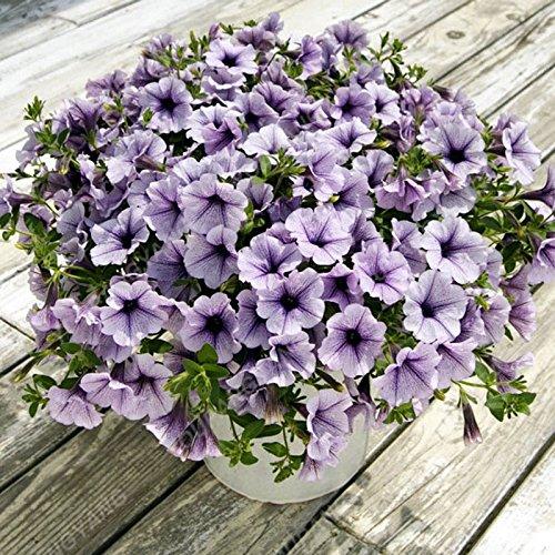 200 pcs/sac Petunia Graines Bonsaï Graines de fleurs Court Taille Jardin Fleurs Graines d'intérieur ou extérieur Plante en pot Livraison gratuite Violet