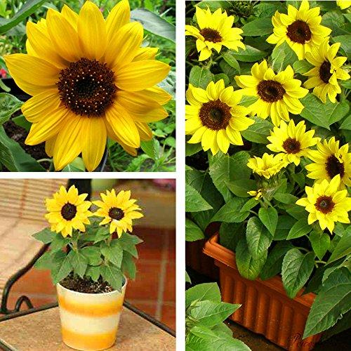 100pcs / mini sac de graines de tournesol hauteur série graines de tournesol de tournesol nain 40cm Graines de fleurs plantes pour le jardin à la maison