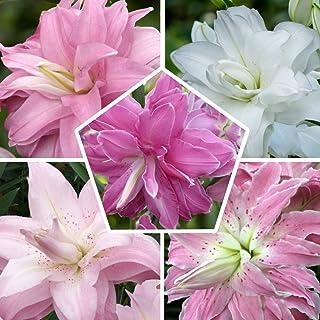 Colección de 10 lirios de loto en 5 variedades, 2 de cada color, lirio cebolla de Holanda, tamaño de cebolla de 14 – 16 cm...
