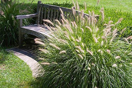 5 x Pennisetum alopecuroides 'Gelbstiel' 1 Liter (Ziergras/Gräser/Stauden) Lampenputzergras ab 3,19 pro Stück