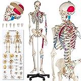 TecTake Modelo médico anatómica Esqueleto Humano esquelético | Varios Modelos (Esqueleto con músculos | No. 401755-5)